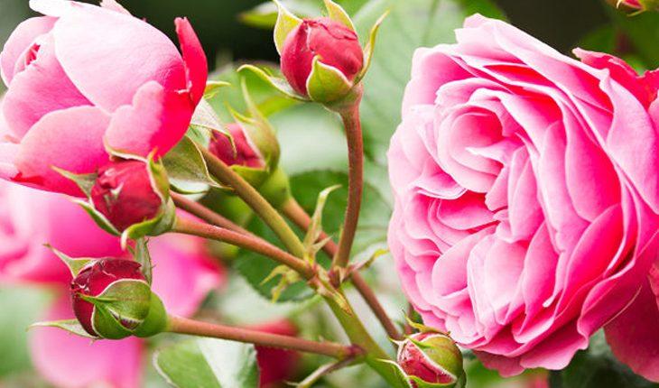 Duftende Rosen